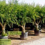 Punica Granatum (Pomegranate Tree) - Half standard
