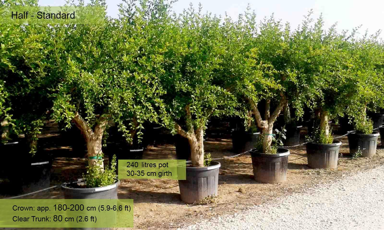 Punica Granatum (Pomegranate Tree) - Half standard - Garden Plants Online