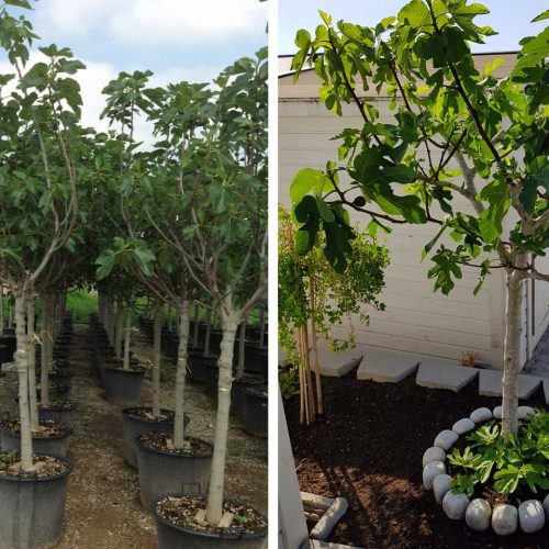Ficus Carica Brown Turkey (Edible Common Fig Tree) - Half Standard