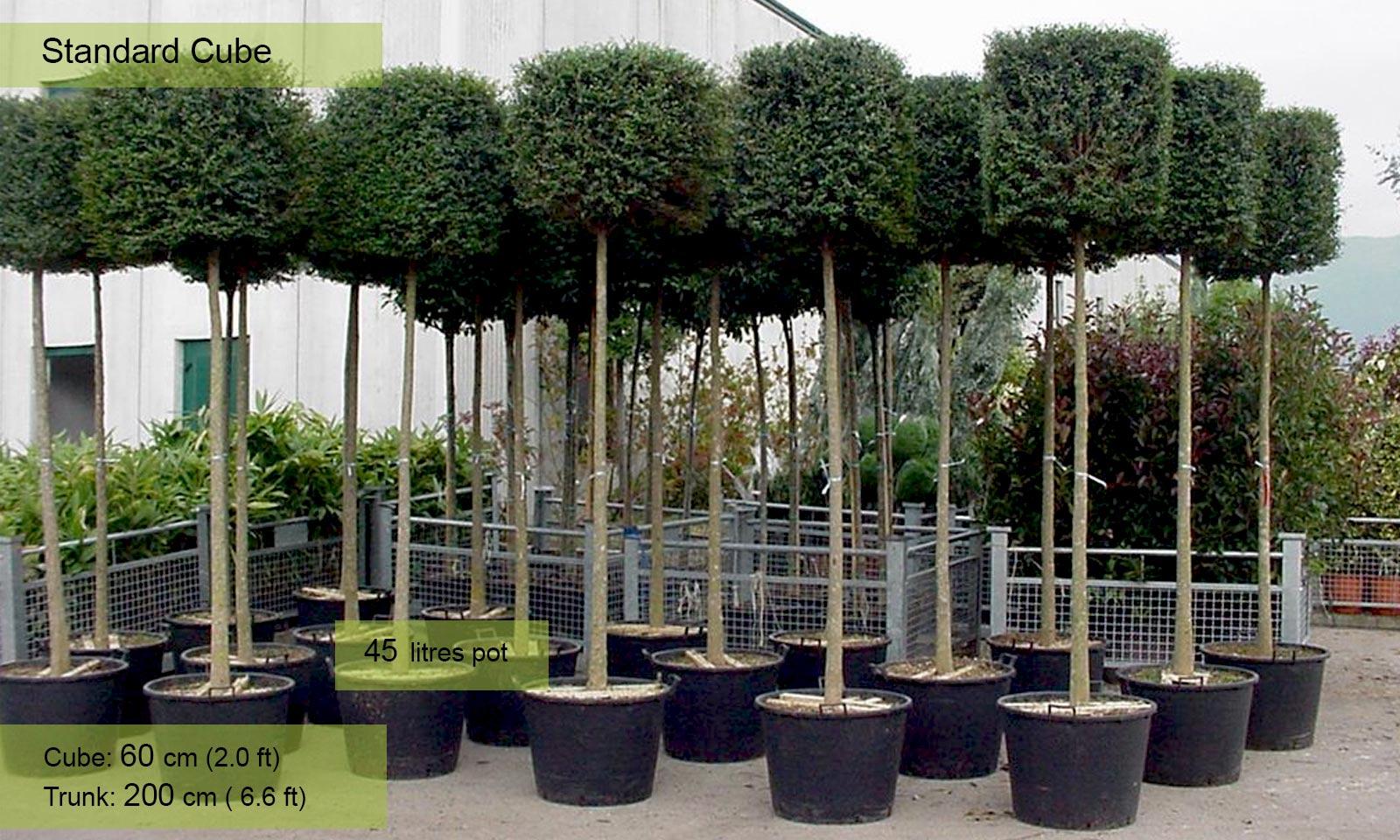 Ligustrum Jonandrum (Lollipop Privet) – Standard Cube - Garden Plants Online