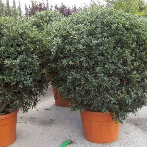 Osmanthus Heterophyllus (Hiiragi / Holly Olive ) – Ball