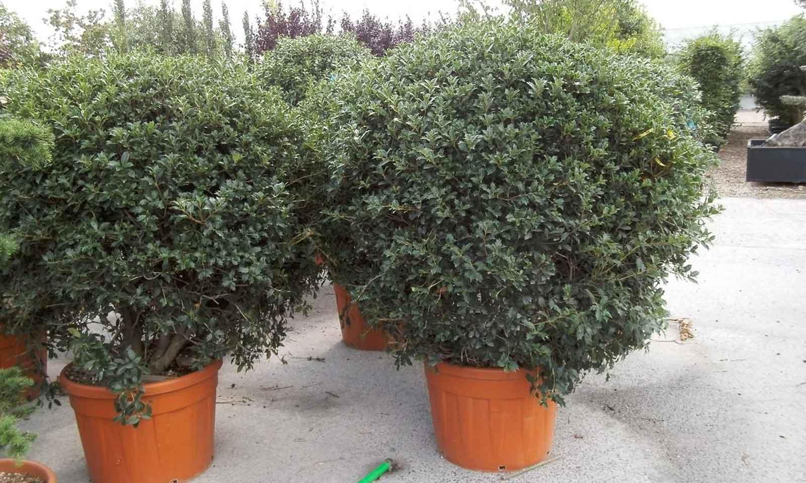 Osmanthus Heterophyllus (Hiiragi / Holly Olive ) – Ball