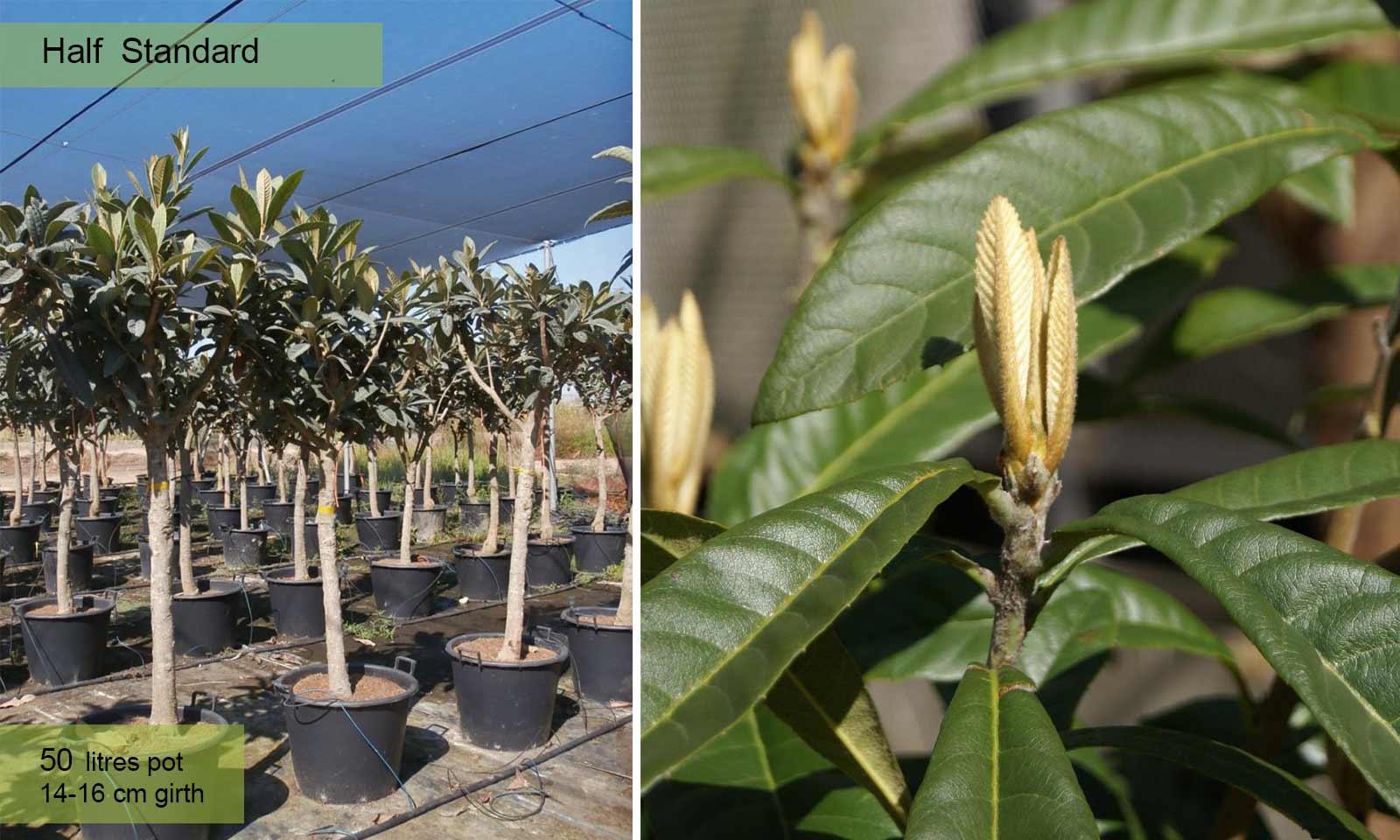 Eriobotrya Japonica (Loquat Tree) – Half standard - Garden Plants Online
