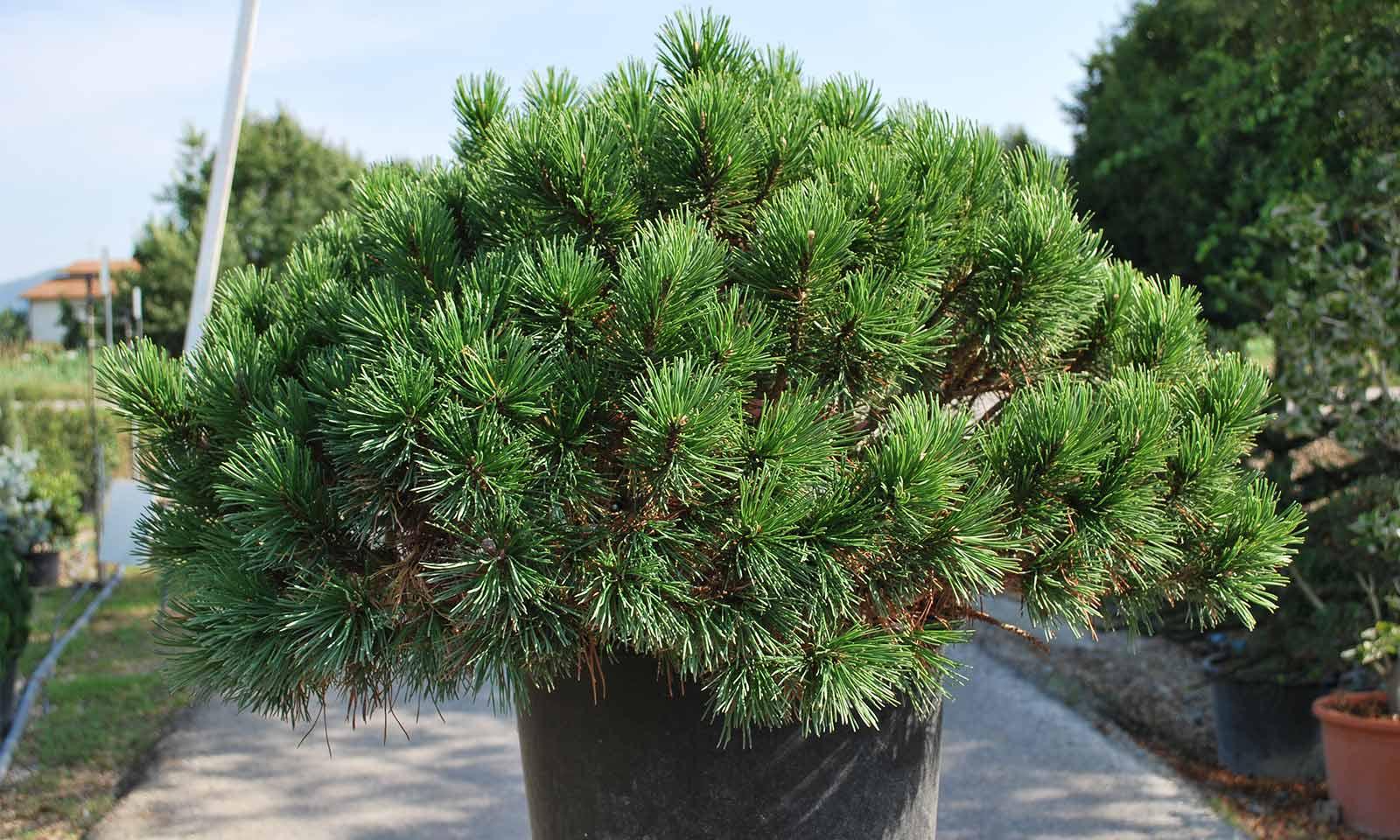 Pinus Mugo Mughus (Dwarf Mountain Pine) - Shrub