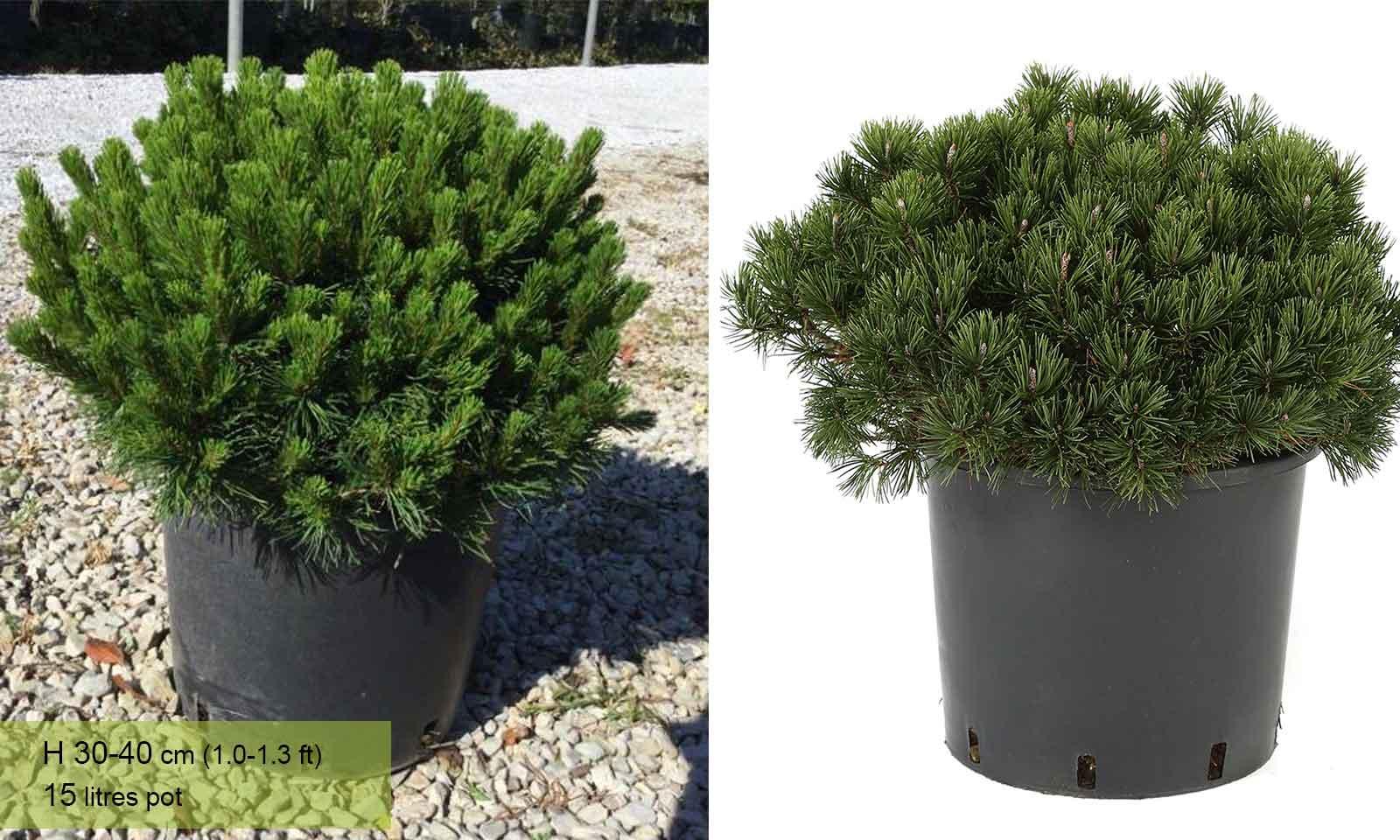 Pinus Mugo Mughus (Mugo Pine/Dwarf Mountain Pine) - Garden Plants Online