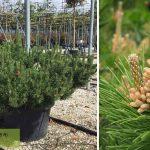 Pinus Mugo Mughus (Dwarf Mountain Pine, Mugo Pine, Swiss Mountain Pine)