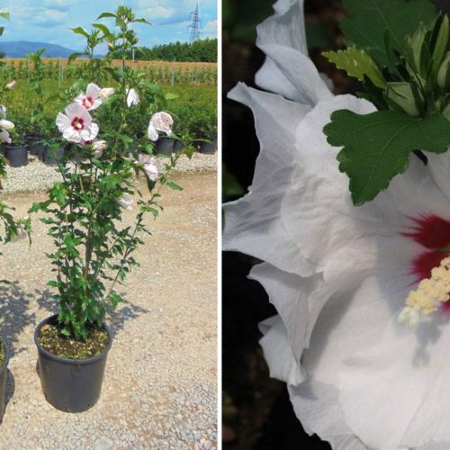 Hibiscus Syriacus (Rose of Sharon) - Shrub