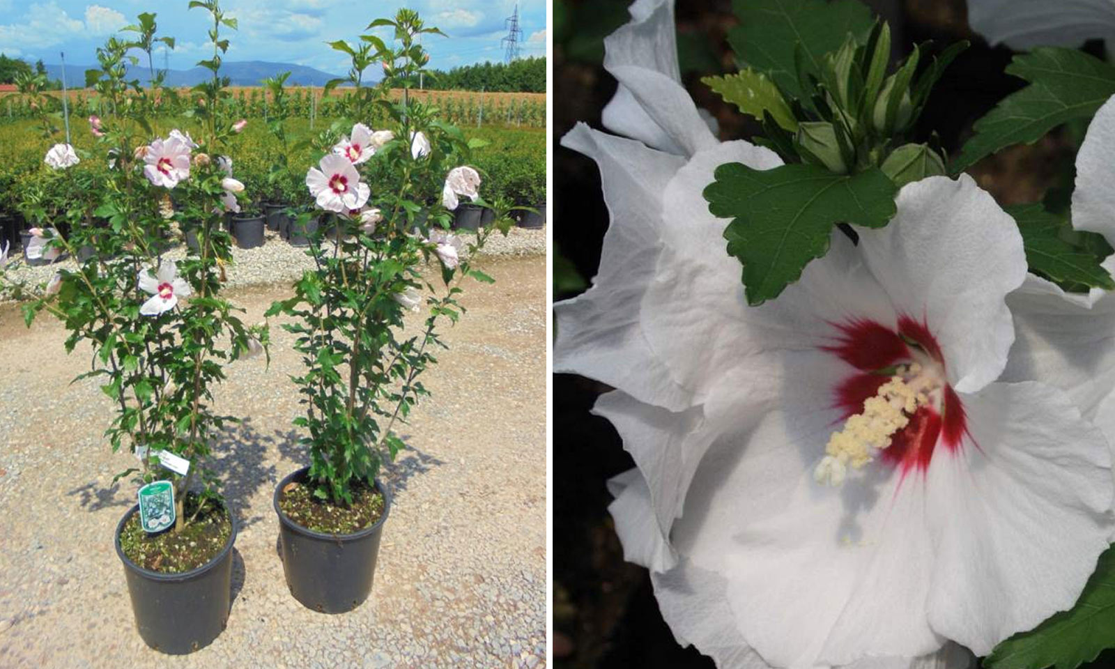 Hibiscus Syriacus (Rose of Sharon) - Shrub