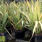 Phormium Apricot Queen (New Zealand Flax) - Bush