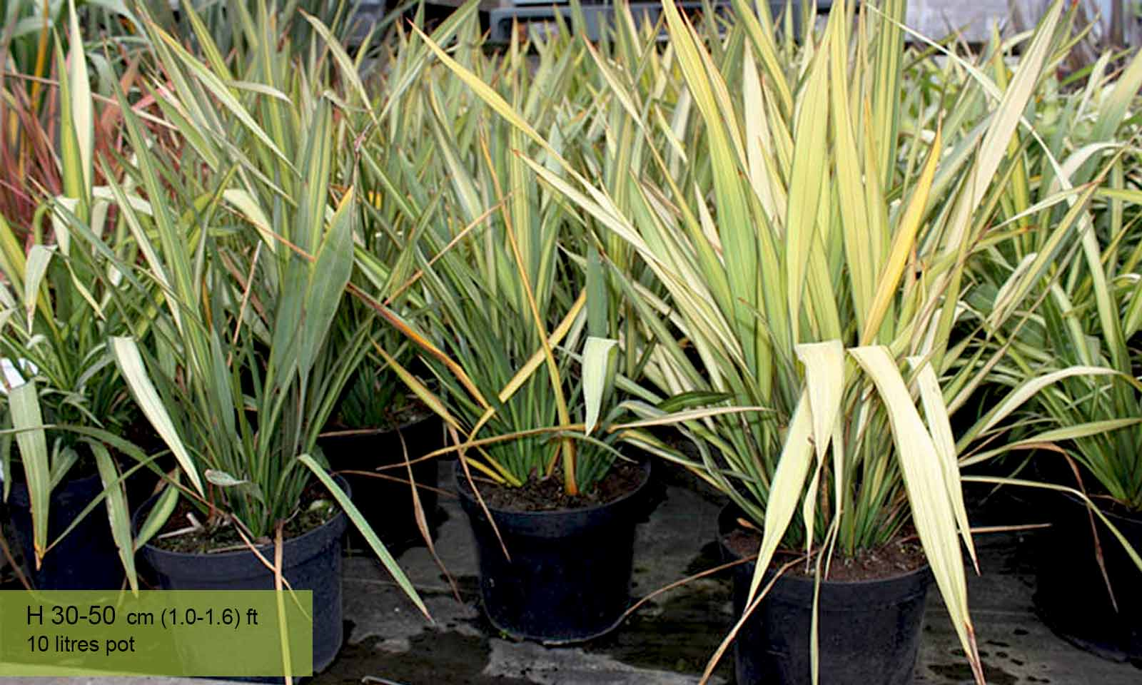 Phormium Apricot Queen (New Zealand Flax) - Shrub - Garden Plants Online