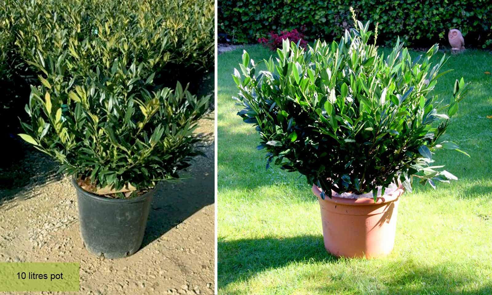 Prunus Laurocerasus Otto Luyken (Cherry Laurel) - Bush - Garden Plants Online