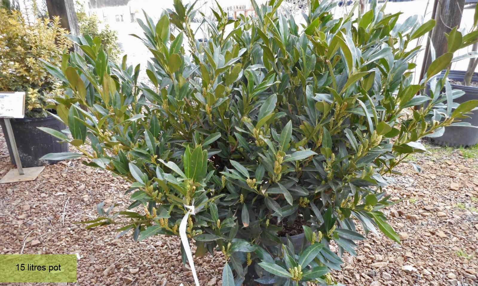 Prunus Laurocerasus Otto Luyken (Cherry Laurel) - Shrub - Garden Plants Online