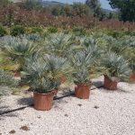 Chamaerops Humilis Cerifera (Blue Mediterranean Fan Palm)