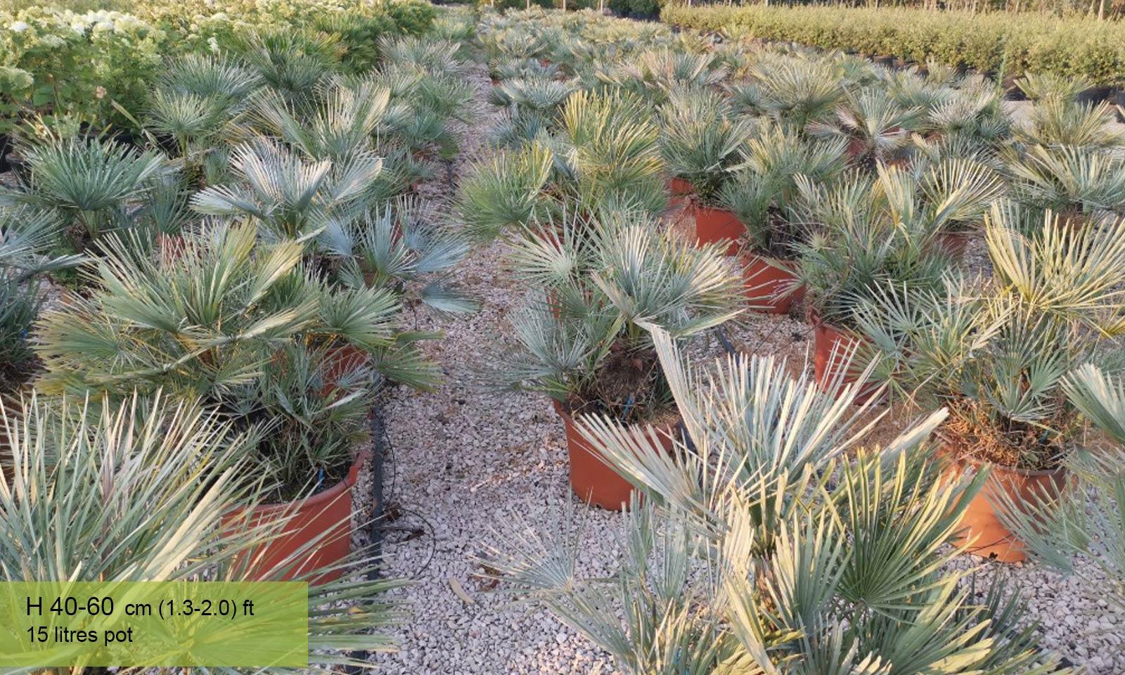 Chamaerops Humilis Cerifera (Blue Leaves) - Garden Plants Online