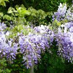 Wisteria Sinensis (Chinese Wisteria) Espalier