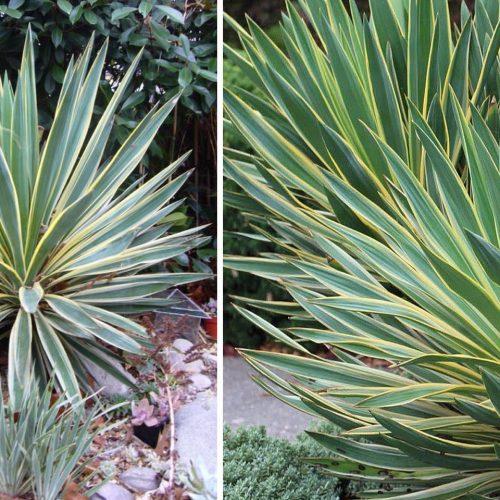 Yucca Gloriosa Variegata (Variegated Spanish Dagger)