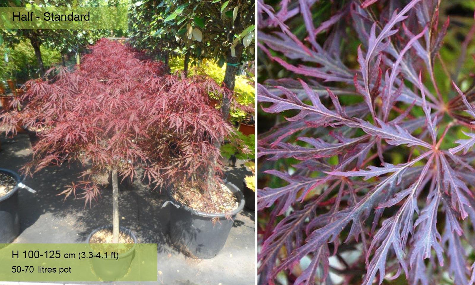 Acer Palmatum Dissectum Garnet - Half standard - Garden Plants Online