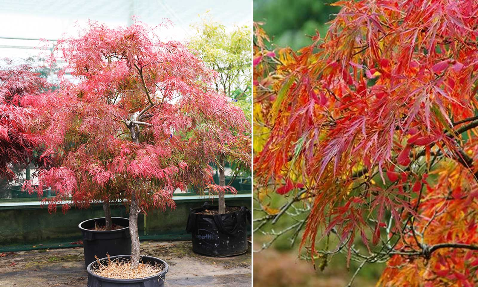 Acer Palmatum Dissectum 'Viride' (Japanese Maple 'Viride') - Half Standard