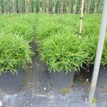 Bambusa Nana (Dwarf Bamboo)
