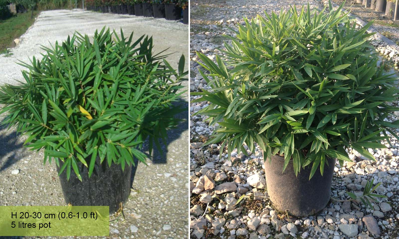 Bambusa Nana (Dwarf Bamboo) - Garden Plants Online