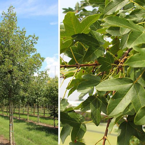 Acer Monspessulanum (Montpellier Maple) - Standard