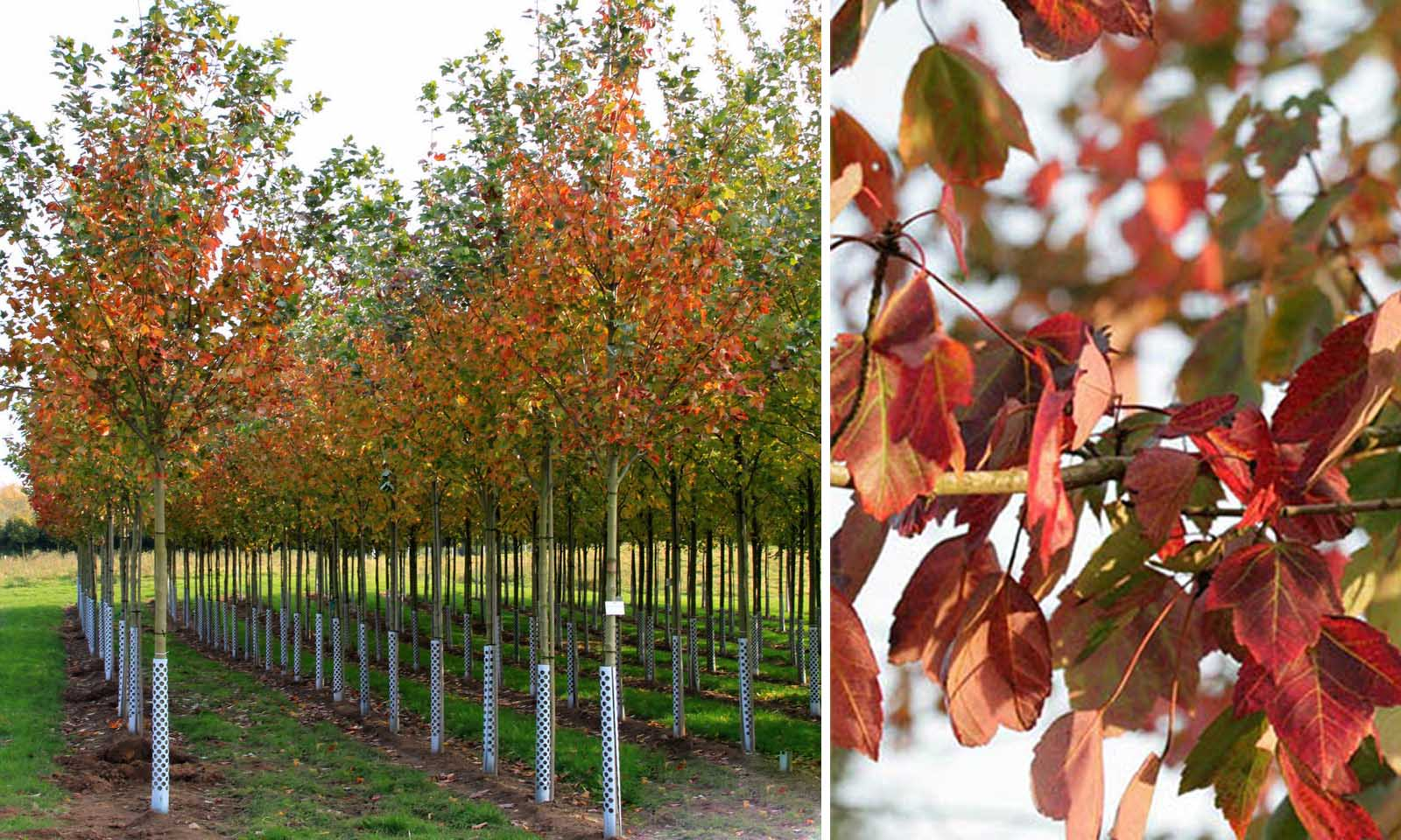 Acer Rubrum 'Red Sunset' (Red Maple 'Red Sunset') - Standard