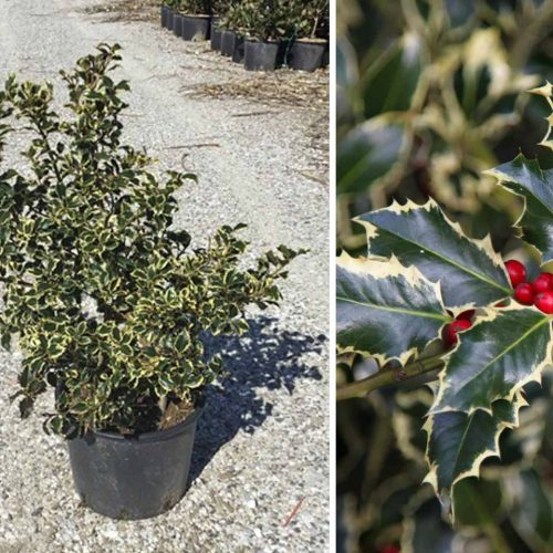 Ilex Aquifolium 'Argenteomarginata' (Variegated English Holly) - Shrub