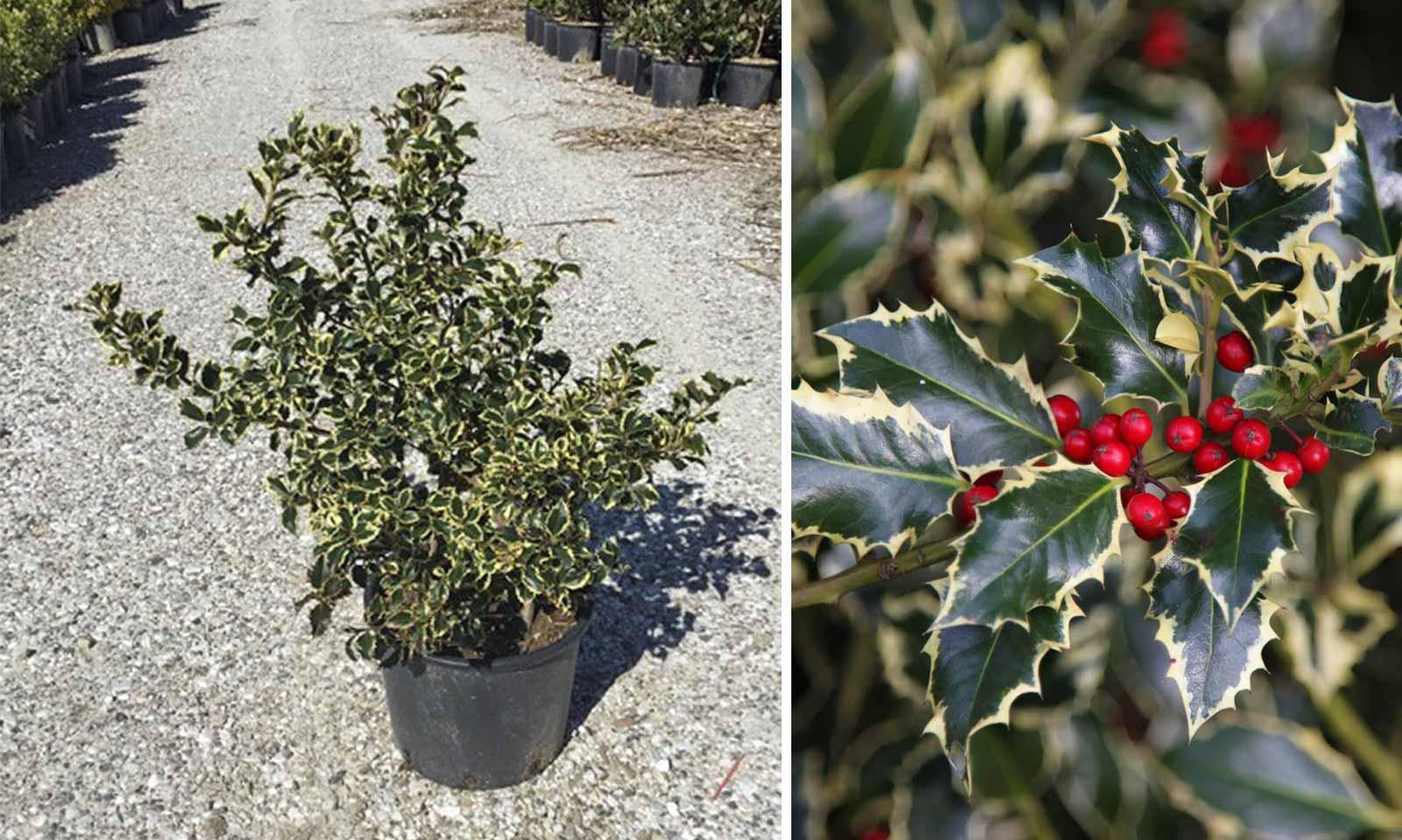 Ilex Aquifolium 'Argenteomarginata' (Variegated English Holly) - Shrub