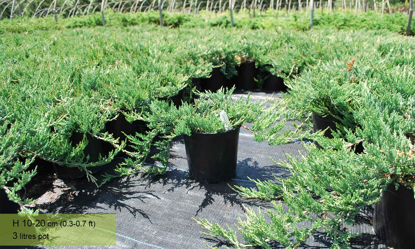 Juniperus Horizontalis Bar Harbor (Bar Harbor Juniper, Creeping Juniper) - Garden Plants Online