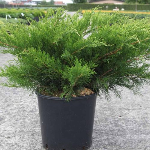 Juniperus x Pfitzeriana Mint Julep (Mint Julep / Chinese Juniper)