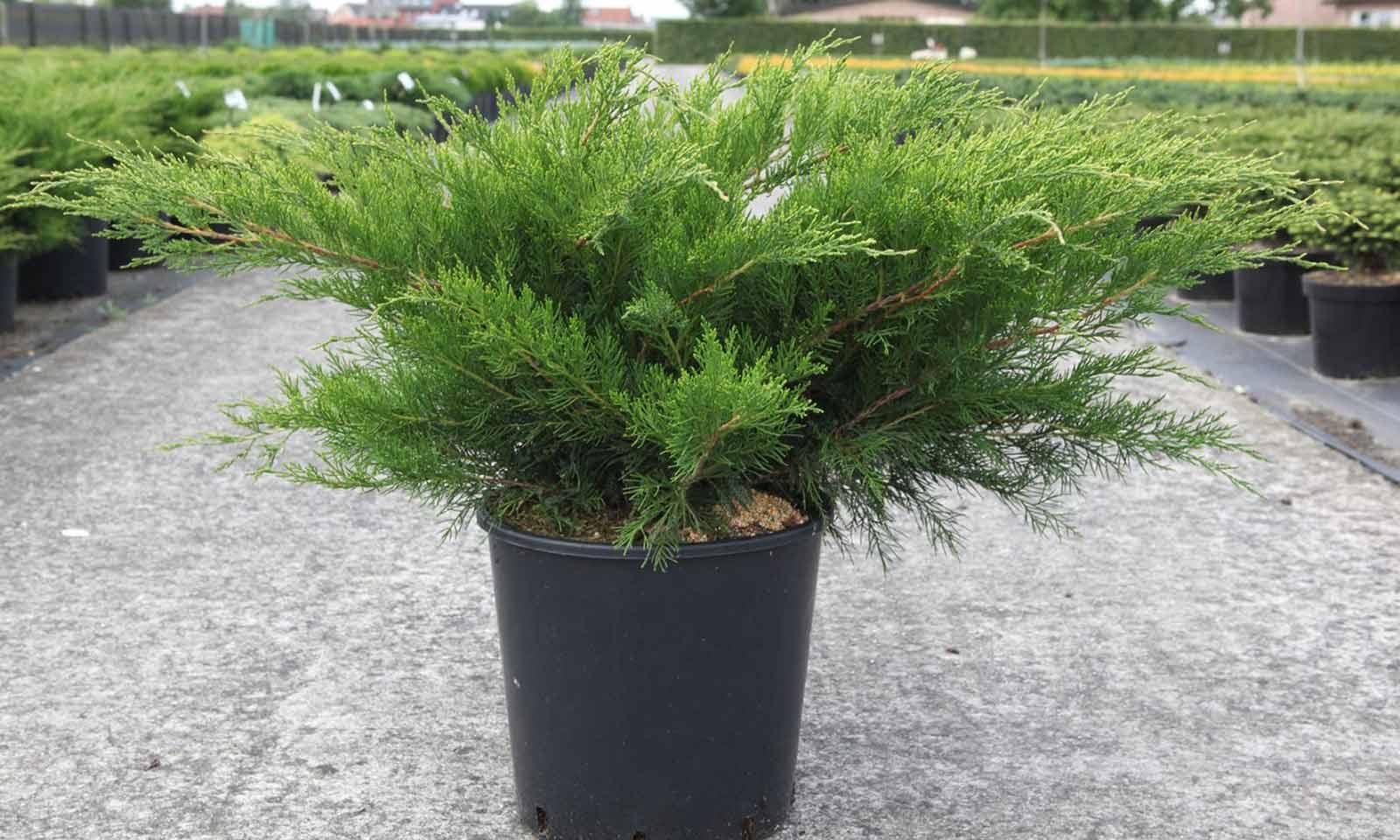 Juniperus x Pfitzeriana Mint Julep (Mint Julep / Chinese Juniper)