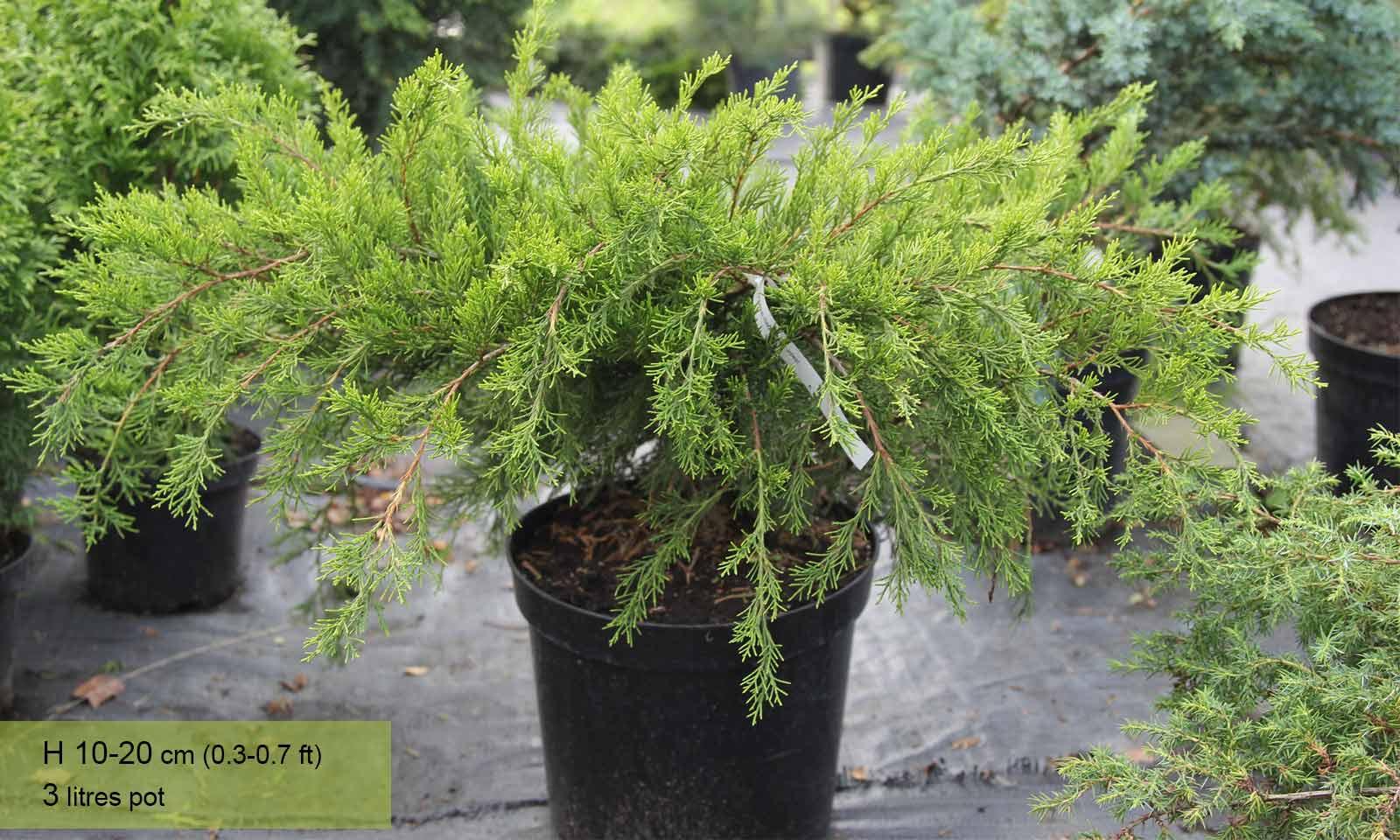 Juniperus x Pfitzeriana Mint Julep (Mint Julep, Chinese Juniper) - Garden Plants Online