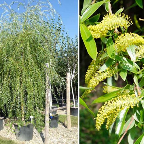 Salix Babylonica (Babylon Willow / Weeping Willow) - Standard