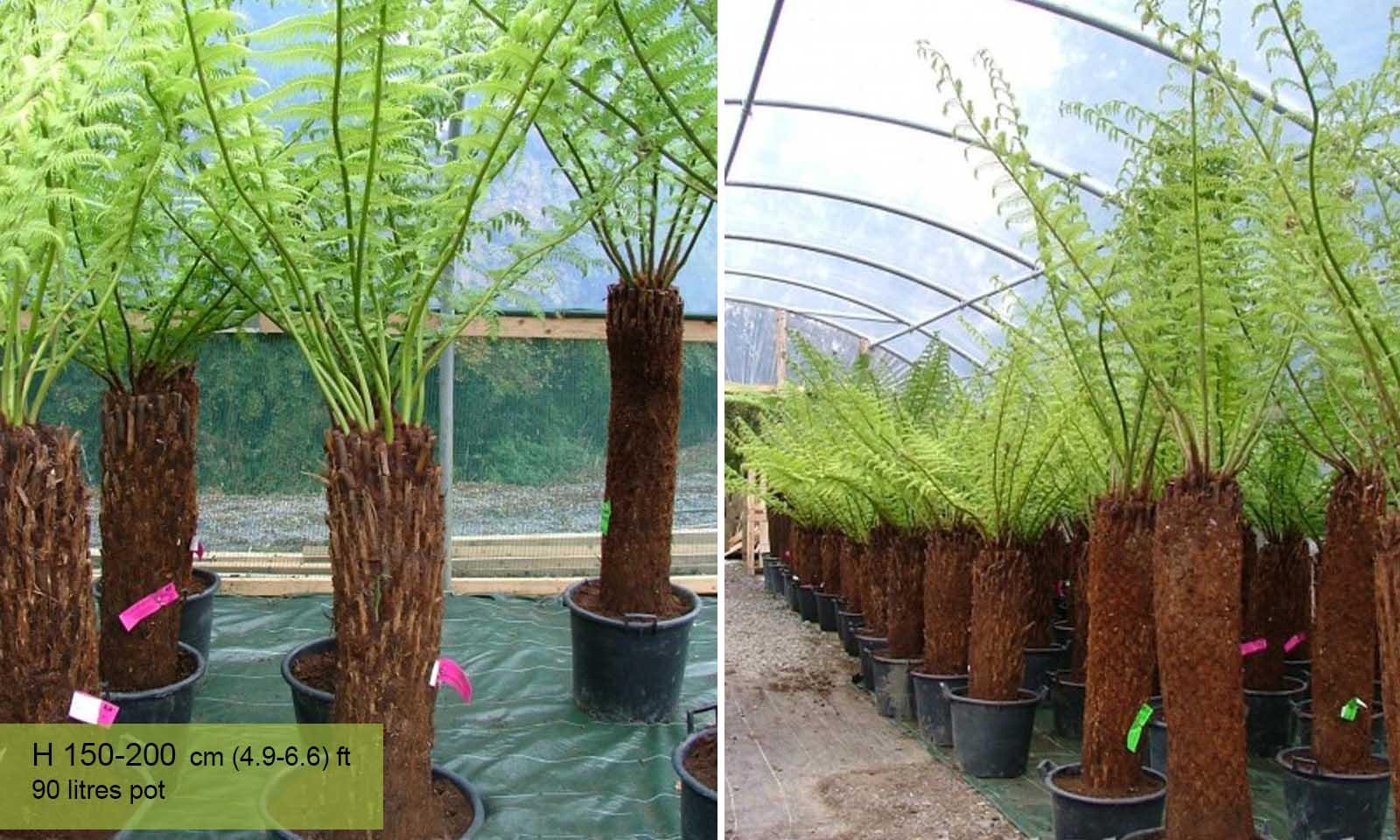 Dicksonia Antarctica (Australian Tree Fern) - Garden Plants Online