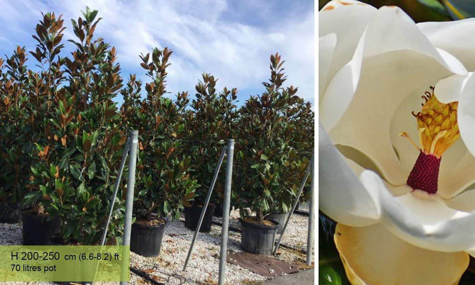 Magnolia Grandiflora Gallisoniensis (Southern Magnolia) - Shrub - Garden Plants Online