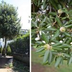 Quercus Ilex - Holm Oak Tree - Holly Oak