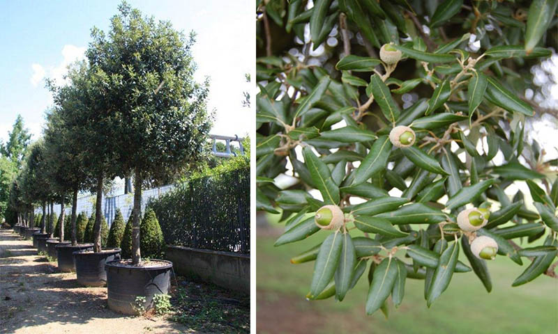 Quercus Ilex - Holm Oak Tree - Holly Oak - Garden Plants Online
