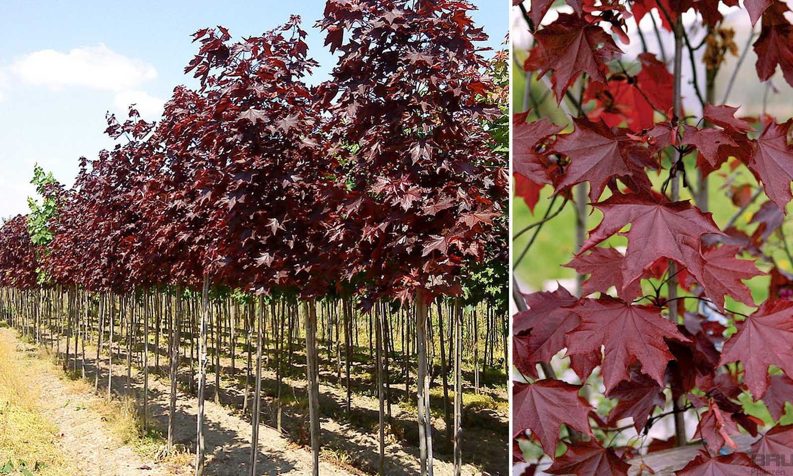 Acer Platanoides 'Royal Red' (Norway Maple 'Royal Red') - Standard