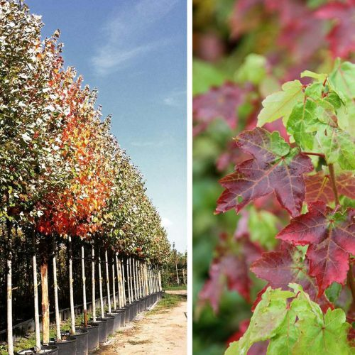 Acer Rubrum 'October Glory' (Red Maple 'October Glory') - Standard