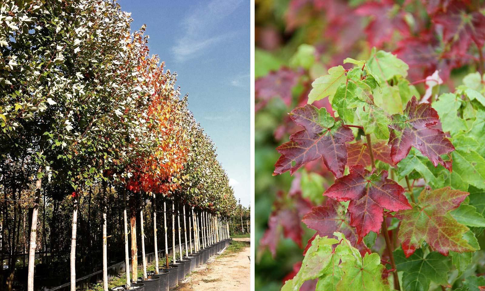 Acer Rubrum 'October Glory' (Red Maple 'October Glory') - Standard