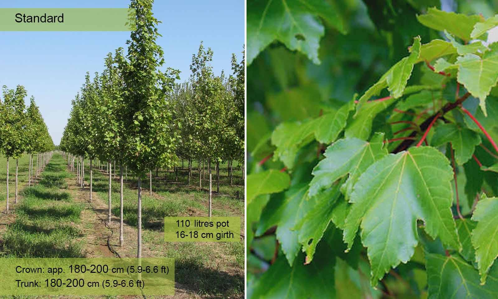 Acer Rubrum October Glory - Standard - Garden Plants Online