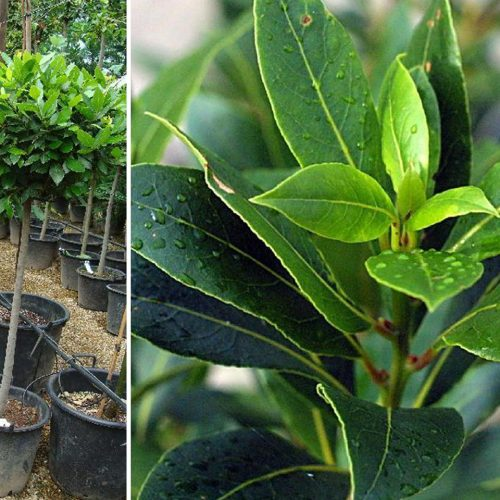 Laurus Nobilis (Bay Tree) – Half Standard