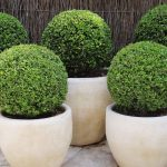 Buxus Microphylla Faulkner (Box Faulkner) – Ball