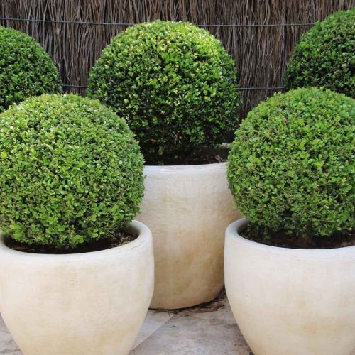 Buxus Microphylla Faulkner (Box Faulkner) - Ball