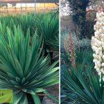 Yucca Gloriosa (Sea Islands Yucca)