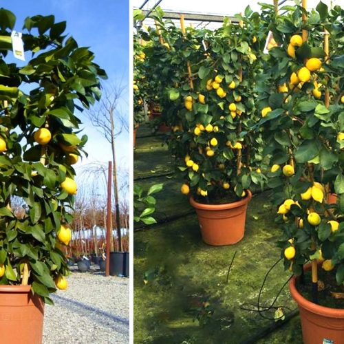 Citrus Limonum (Lemon Trees) – Espalier