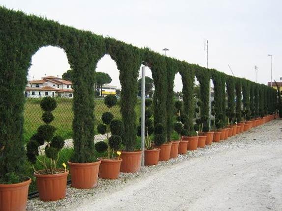 Cupressocyparis Leylandii (Green Cypress Hedge) - Arch