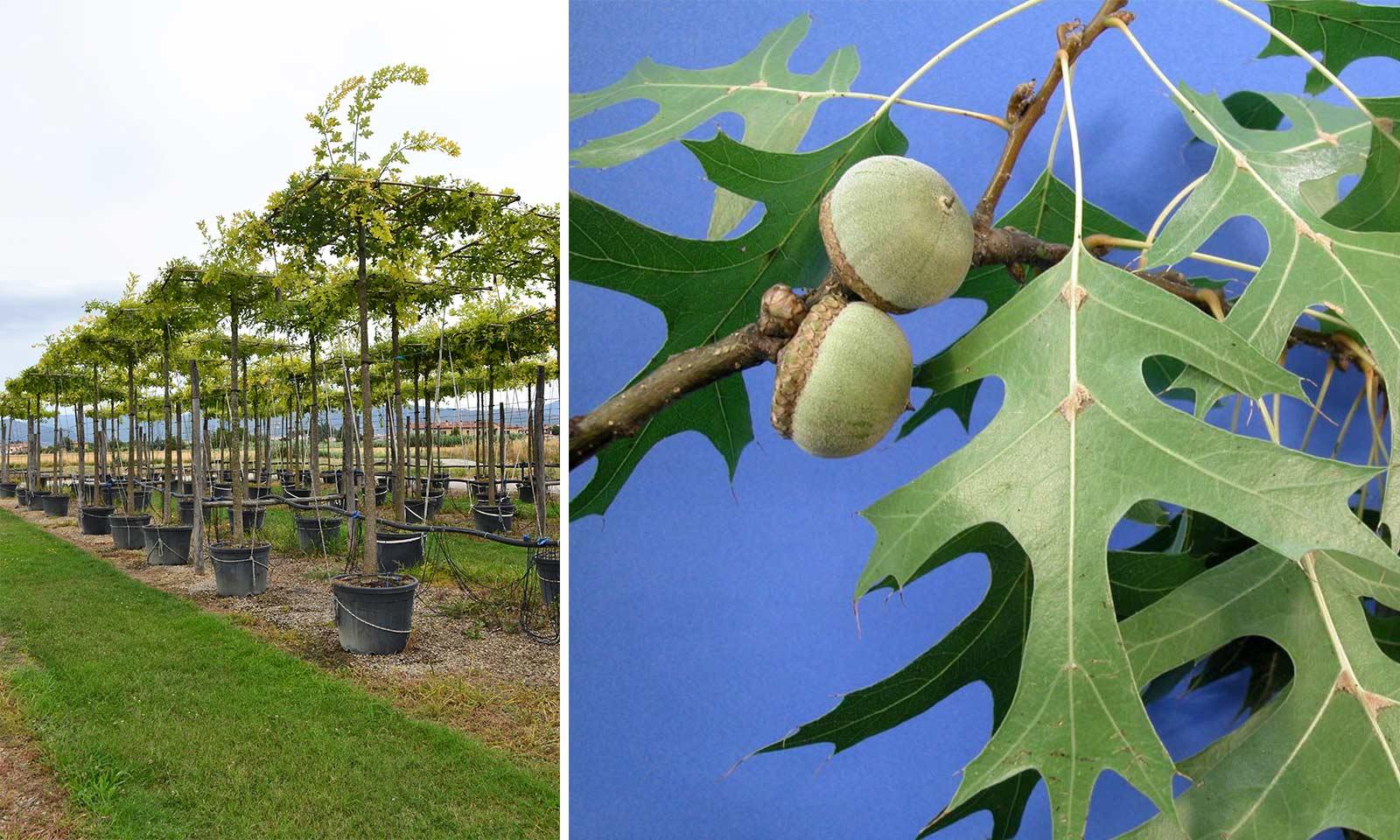 Quercus Palustris (Pin Oak / Swamp Spanish Oak) - Roof Shape