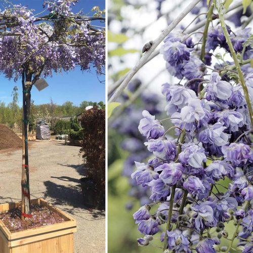 Wisteria Floribunda Black Dragon - Umbrella