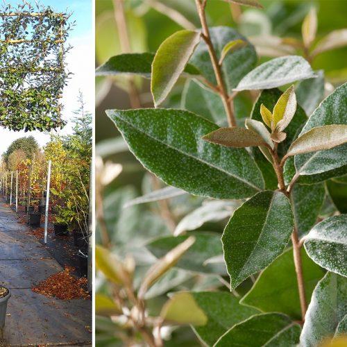 Elaeagnus x Ebbingei (Ebbinge's Silverberry) - Standard Espalier